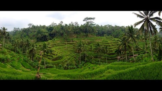 Mano Tour Guide Bali: The rice fields