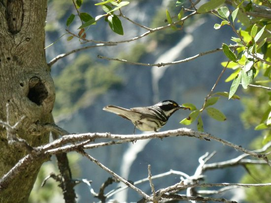 YExplore Yosemite Adventures - Day Tours : Black-throated grey warbler, attracted in by David 'pishing'