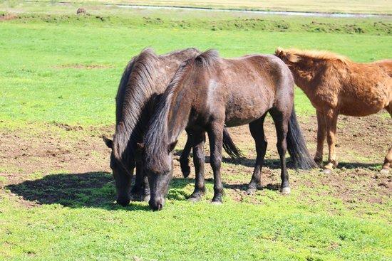 Iceland Horizon: Icelandic Horse