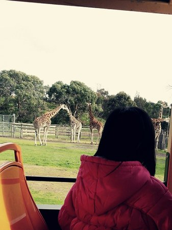 Werribee Open Range Zoo: Giraffes...everyone's favourite