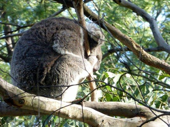 Phillip Island Nature Parks - Koala Conservation Centre: Koala on treetop