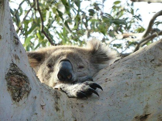 Phillip Island Nature Parks - Koala Conservation Centre: Koala