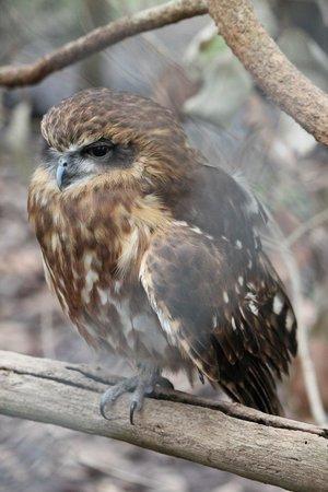 Eagles Heritage Wildlife Centre: Boobook owl