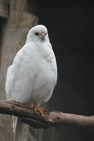 Eagles Heritage Wildlife Centre: Grey Goshawk
