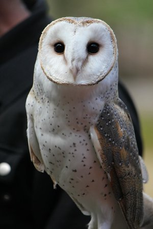 Eagles Heritage Wildlife Centre: Ivy the Barn Owl