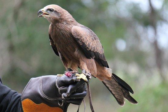 Eagles Heritage Wildlife Centre: Black Kite