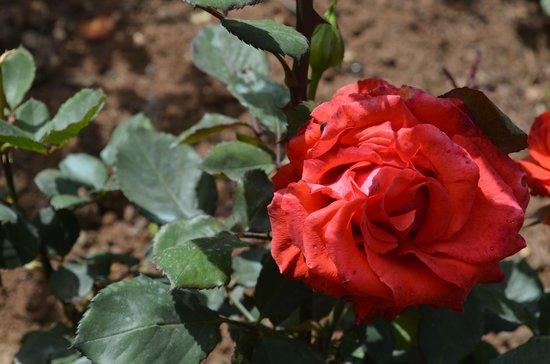 Rose Garden: Beautiful Roses
