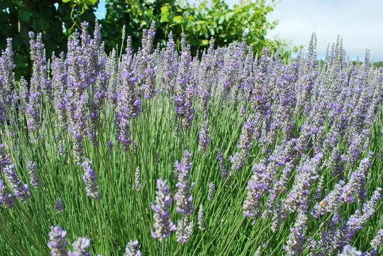 Holman Ranch: Lavender in bloom