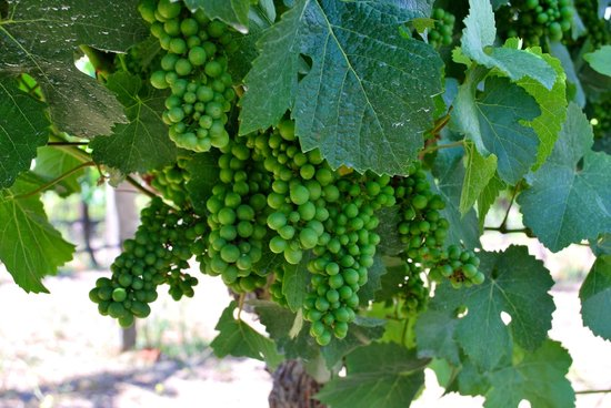Holman Ranch: Organic wines