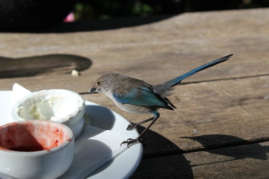 Cottage Cafe at The Berry Farm: Blue wren