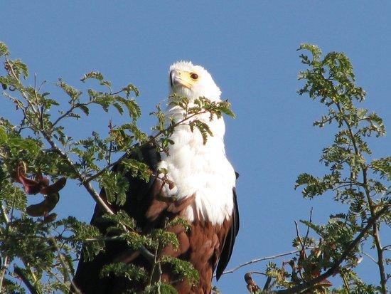 Kalizo Lodge: Fish Eagle nearly took my lure!!