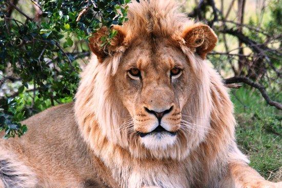 Sidbury, Zuid-Afrika: Lion