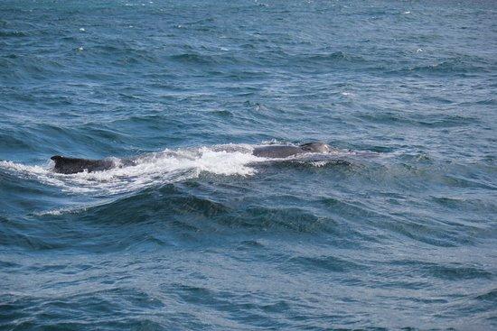 Naturaliste Charters: Humpback whale