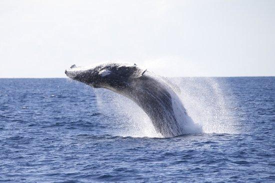 Coolangatta Whale Watch: breaching whale  June 21 2014