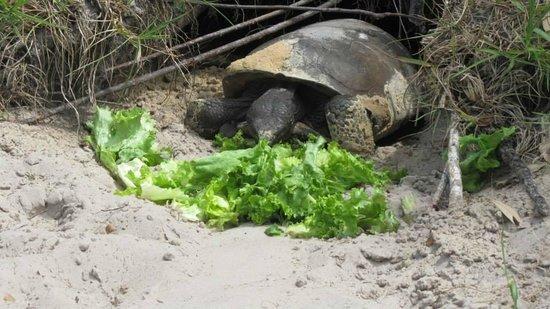 Cabbage Key Inn: schildpad