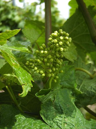 Weinstube Amalienhof: Frühe Blüte im Weinberg