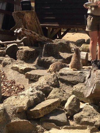 Seaview Wildlife Encounter: Meerkats at feeding time