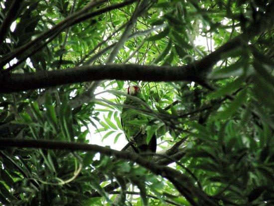 Hacienda Guachipelin: perroquet vert devant la chambre