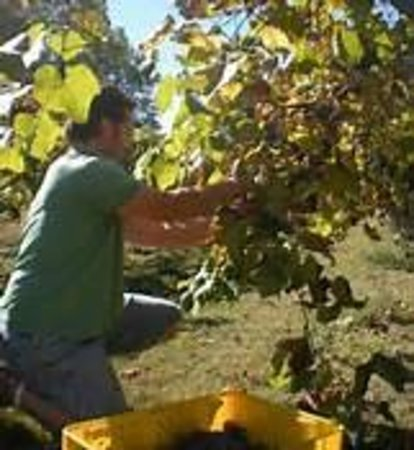 Persimmon Ridge Winery : NORTON HARVEST