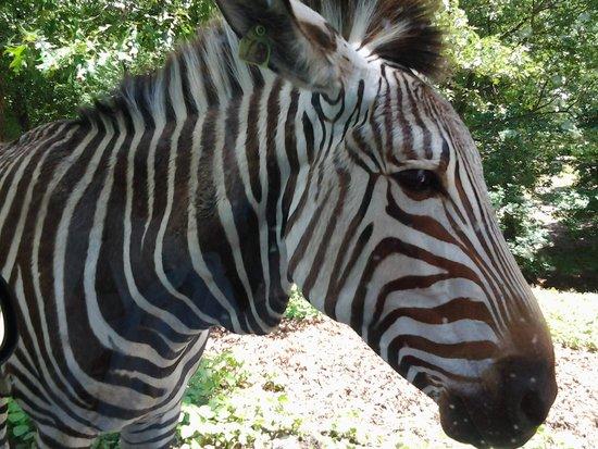 Wild Animal Safari : Zebra