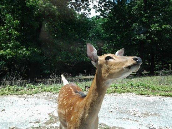 Wild Animal Safari : Deer