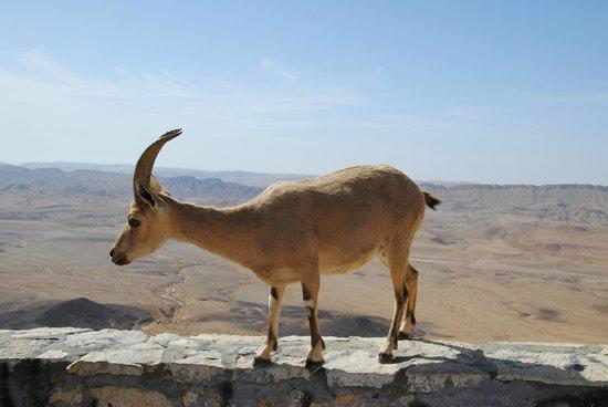 Ramon Crater: ibex