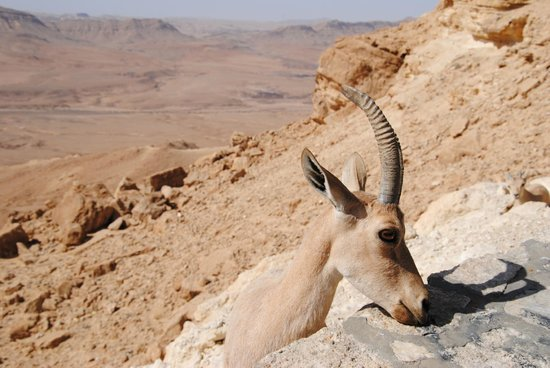 Ramon Crater: DO NOT FEED the ibex. Please!!!