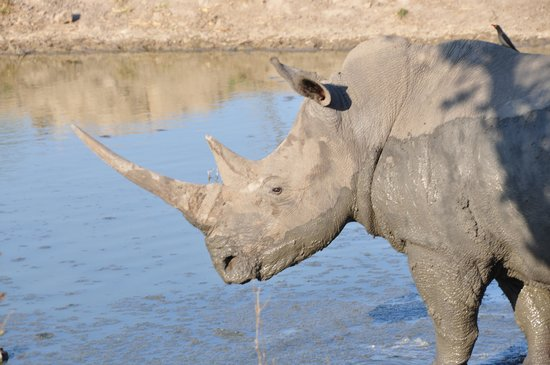 Notten's Bush Camp : rhino at a waterhole