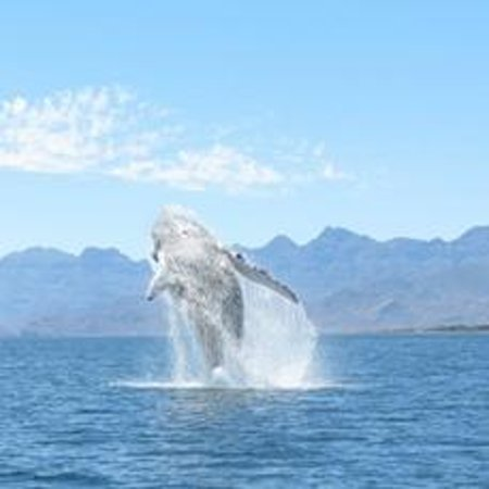 Loreto Bay National Marine Park : Humpback Whale Breaching - Mar.25.2014. Loreto