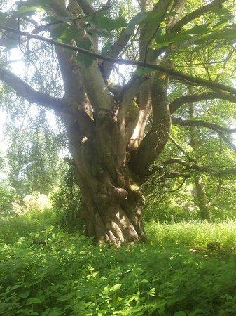 Haddo House & Country Park: Old tree near carpark