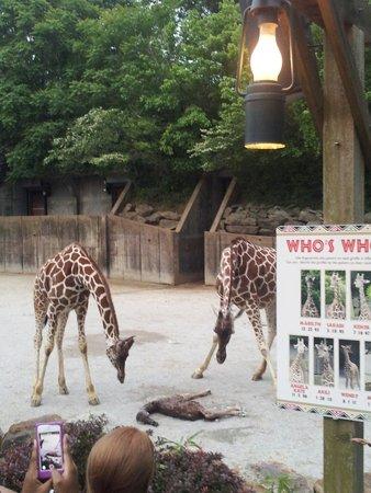 Memphis Zoo: Baby giraffe just born!!