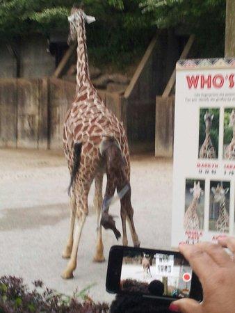 Memphis Zoo: Happy birthday baby giraffe!!