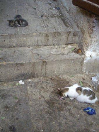 Médina de Fès : Cats eating fresh sardines