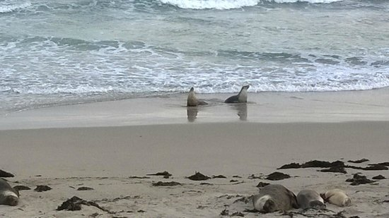 Seal Bay Conservation Park : due mamme tornate dalla pesca