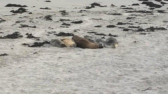 Seal Bay Conservation Park : mamme e cuccioli dormono