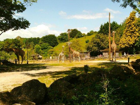 Paignton Zoo Environmental Park: Giraffes