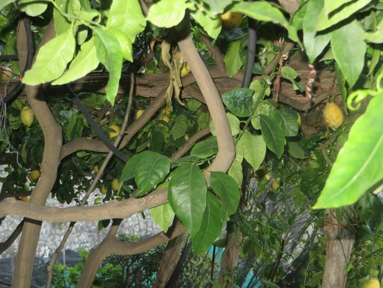 Hotel Onda Verde: Lemon Trees Next to Hotel