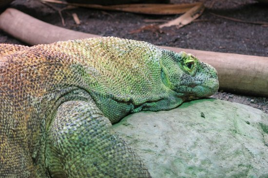 Woodland Park Zoo: Komodo Dragon