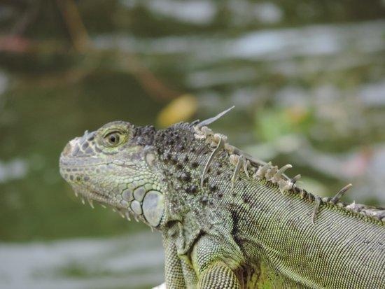 The Grand Mayan Riviera Maya: I love the iguanas