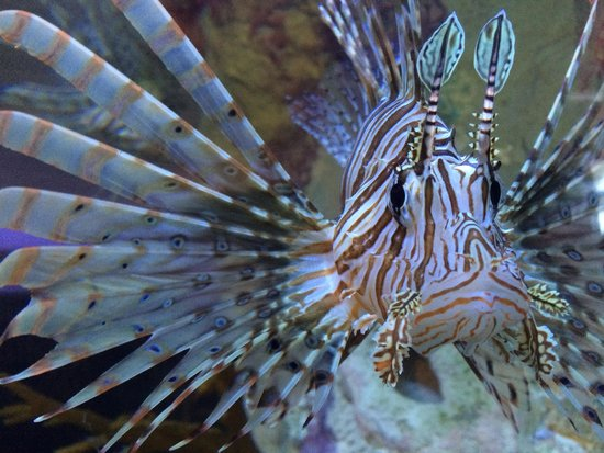 Mote Marine Laboratory and Aquarium: Lionfish