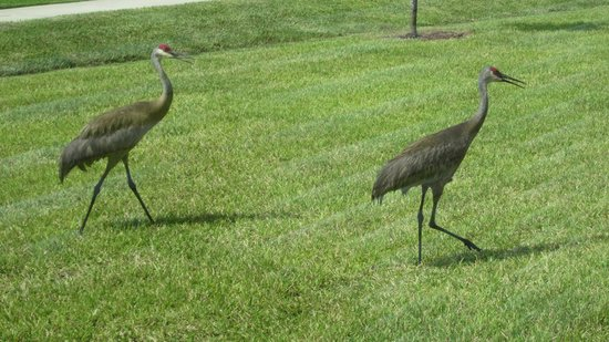 Holiday Inn Express Lake Wales N - Winter Haven: Sand Hill Cranes