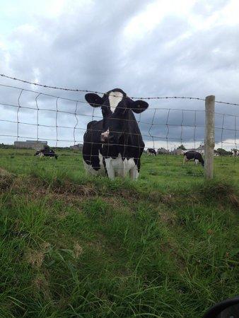Craig Cottage Bed & Breakfast: Friendly neighbourhood cow