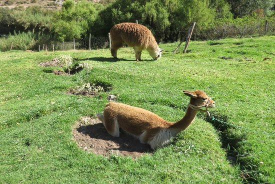 Tunupa Valle Sagrado: vicunas and alpacas within reach