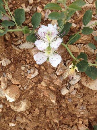 Anigraia : Kapernblüten in der nächsten Umgebung