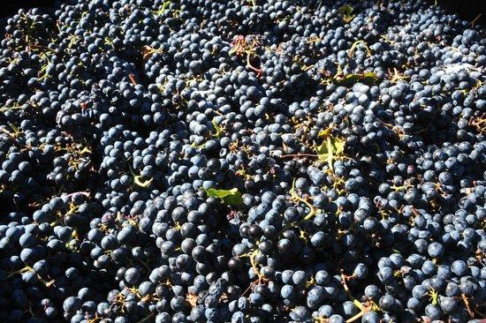 Fenn Valley Vineyards: just-picked grapes, ready for the press