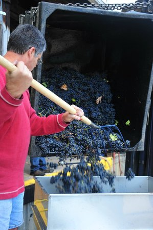 Fenn Valley Vineyards : unloading grapes into the press