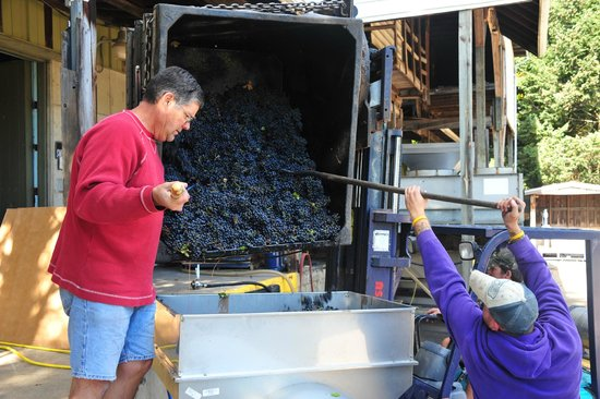 Fenn Valley Vineyards : just-picked grapes going into the press...