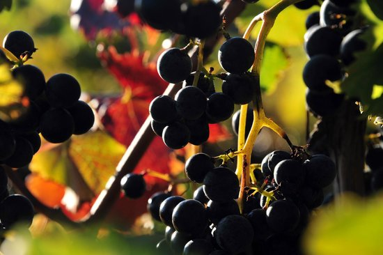 Fenn Valley Vineyards: grapes, ready to harvest, with fall foliage