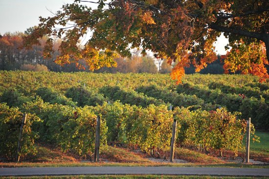 Fennville, MI: the vineyards with some fall color...