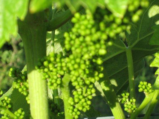 Palazzo Bandino: Baby grapes